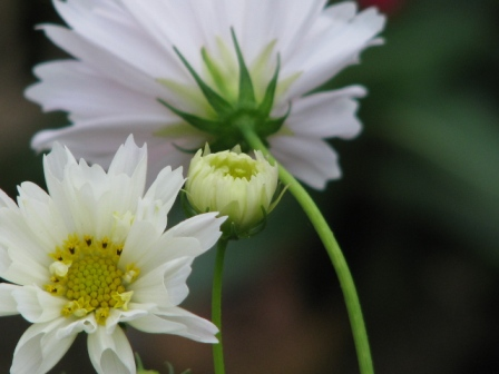 2008.09.28-白いコスモス1