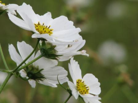 2008.11.02-白いコスモス1