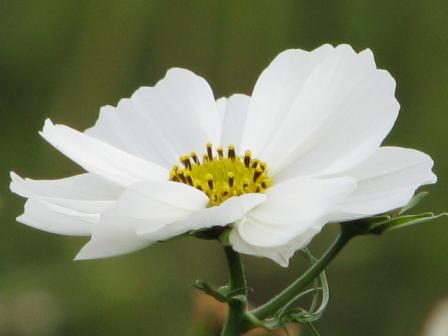 2008.11.02-白いコスモス2