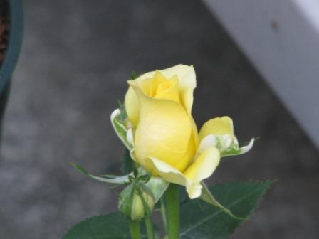 2009.01.17-黄色いミニ薔薇
