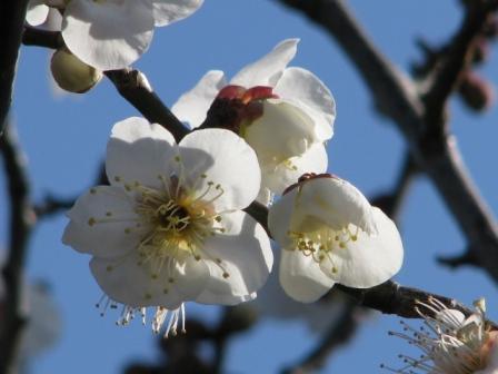 2009.02.08-白い梅