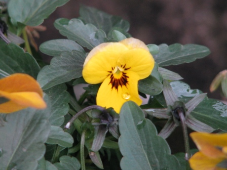 2009.02.11-ビオラ・黄色