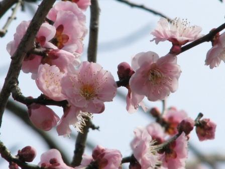 2009.02.22-梅の花・ピンク色