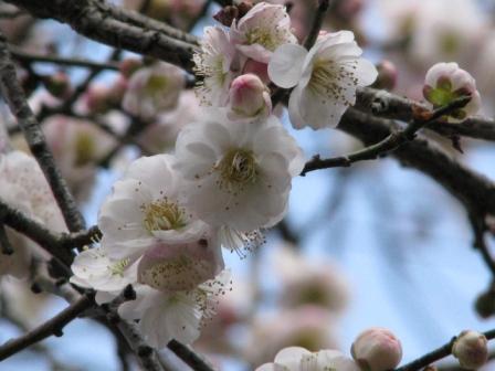 2009.02.22-梅の花・白かな