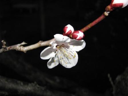 2009.02.21-夜の梅