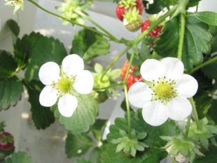 2009.03.07-苺の花