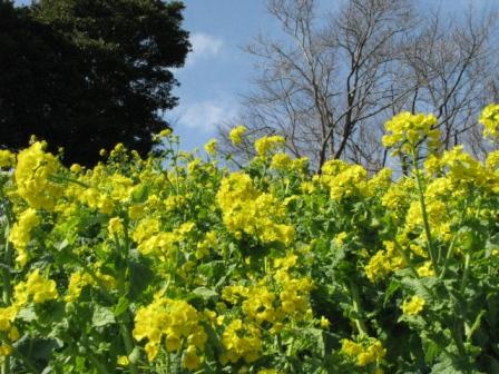 2009.03.07-マザー牧場・菜の花2