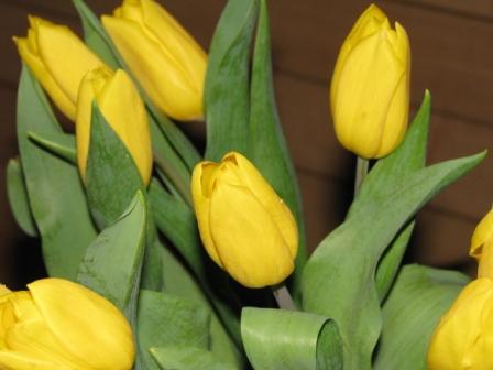 2009.03.25-黄色いチューリップ