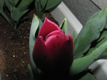 2009.03.25-赤いチューリップ