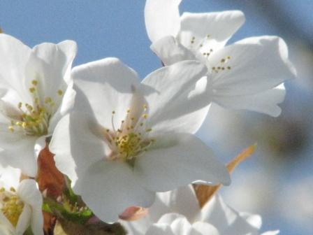 2009.03.29-1-富津公園のサクラ1