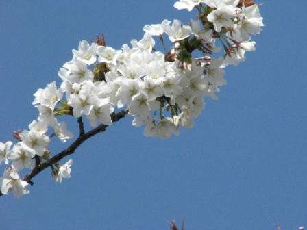 2009.03.29-1-富津公園のサクラ2