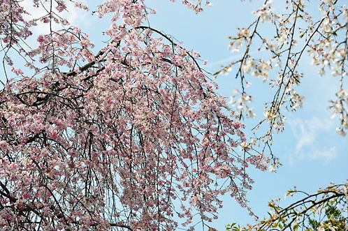 天龍寺の桜