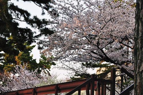 下からの桜