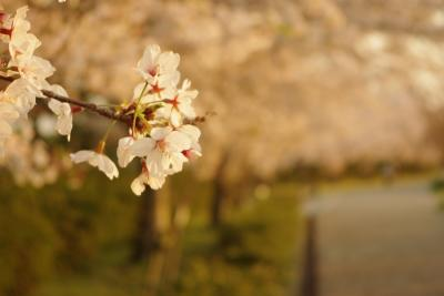 桜022009