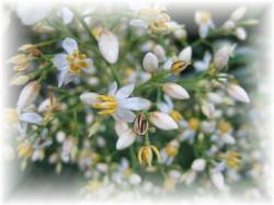 2007.6.15.南天の花