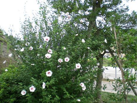 むくげの花が満開
