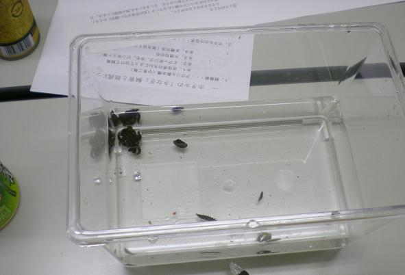 ホタルの幼虫