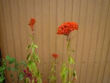 2009秋の花 005