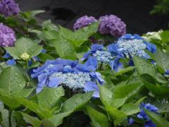 長谷寺の紫陽花1