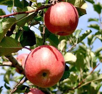 りんご、弘前 ホテル