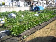 白菜収穫中