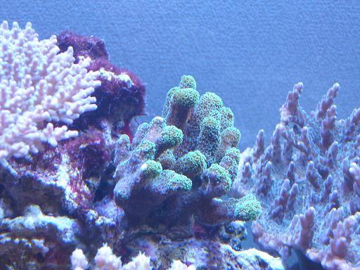 ショウガサンゴ(メタグリーン)