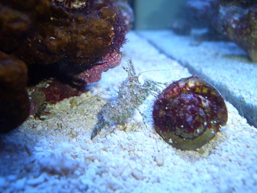 サンゴモエビ2