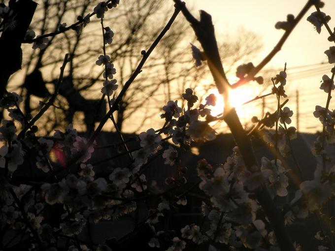 夕日と梅03