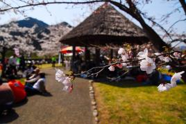 桜!開花1