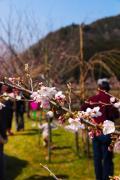 桜!開花2