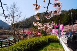 桜!開花3