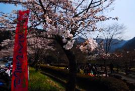 桜!開花4