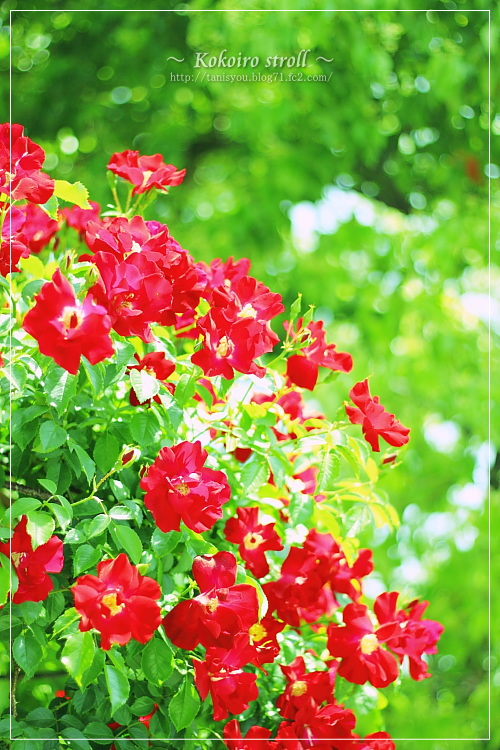 荒牧の薔薇