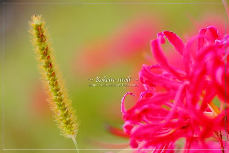 彼岸花とエノコロ草
