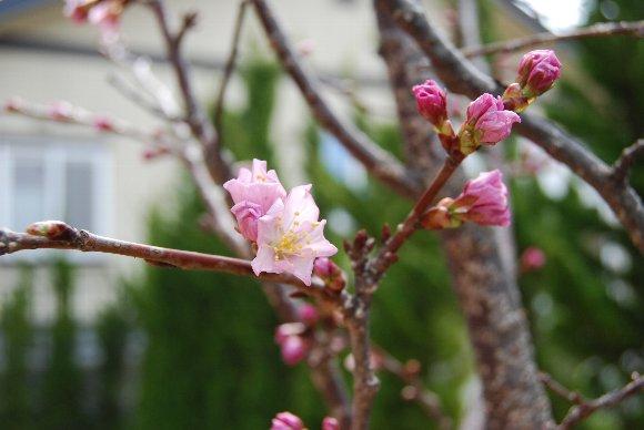 DSC_0023桜