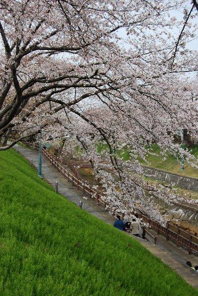 DSC_0071桜