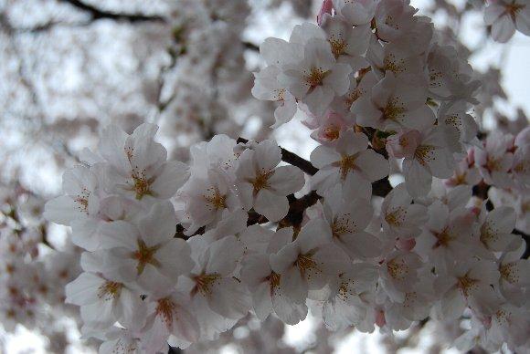 DSC_0079桜アップ