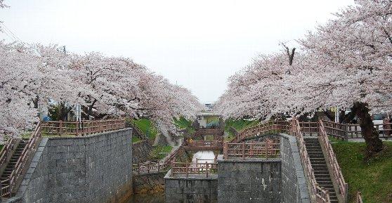 DSC_0103桜1
