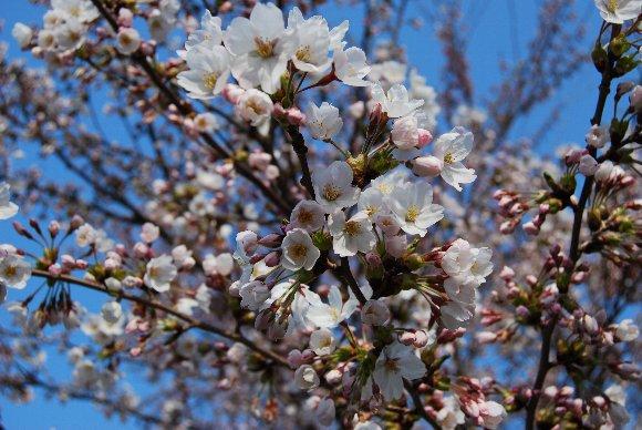 DSC_0114桜バージョン2