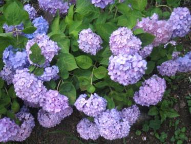 紫陽花は今が満開。