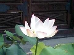 hasu_20081105223121.jpg