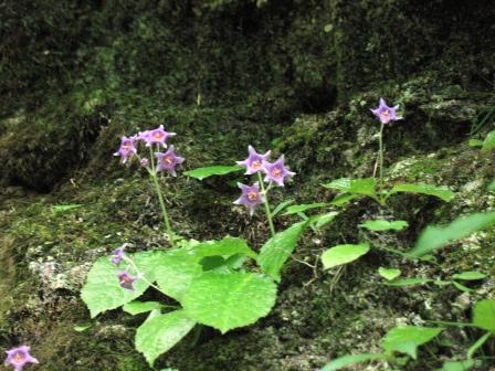 ケイワタバコの花