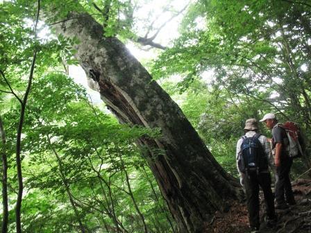 ブナの巨木の前で
