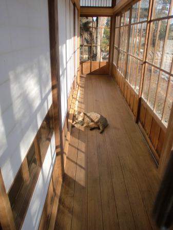 広縁で昼寝するマモ