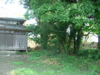 整理前の欅と椎の木