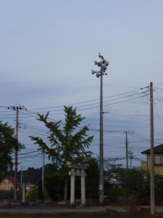 防災無線の上のカンムリヅル