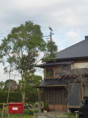 我が家の電柱にとまるカンムリヅル