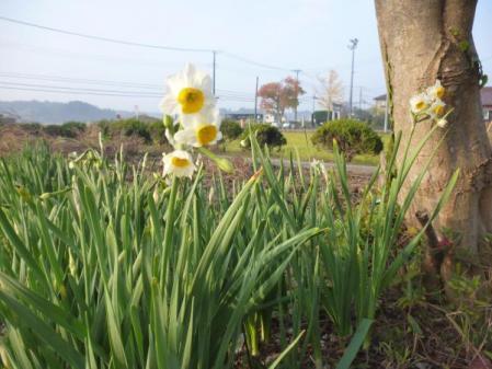 水仙 2011/11/30