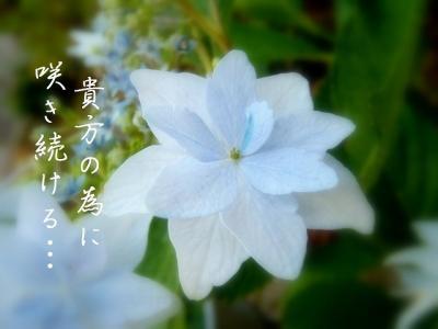 ajisai02.jpg