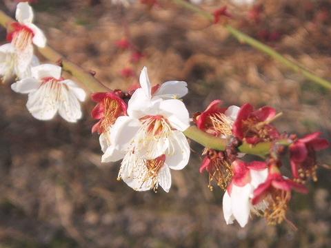 20090222梅の花